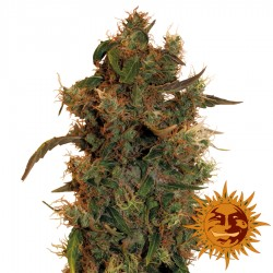 8 Ball Kush - Cannabis Seeds - Barney's Farm