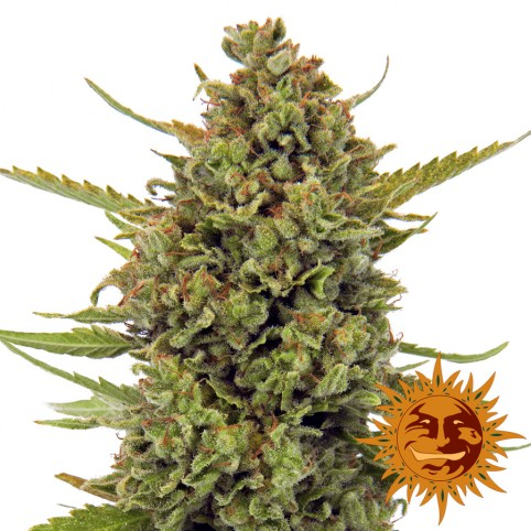 Acapulco Gold - Cannabis Seeds - Barney's Farm