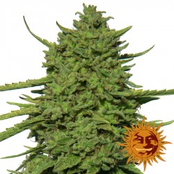 Amnesia Lemon - Cannabis Seeds - Barney's Farm