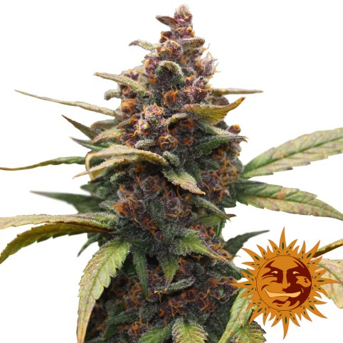 Ayahuasca Purple - Cannabis Seeds