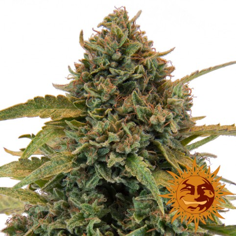 Bad Azz Kush - Cannabis Seeds