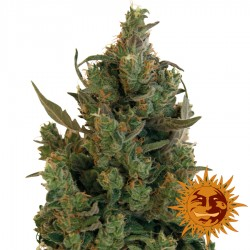 Blue Cheese - Cananbis Seeds - Barney's Farm