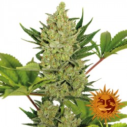 Blue Cheese Auto  - Cannabis Seeds -Barney's Farm