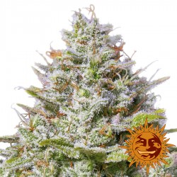 Blue Gelato 41 - Cannabis Seeds