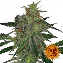 Blue Mammoth Auto - Cannabis Seeds - Barney's Farm