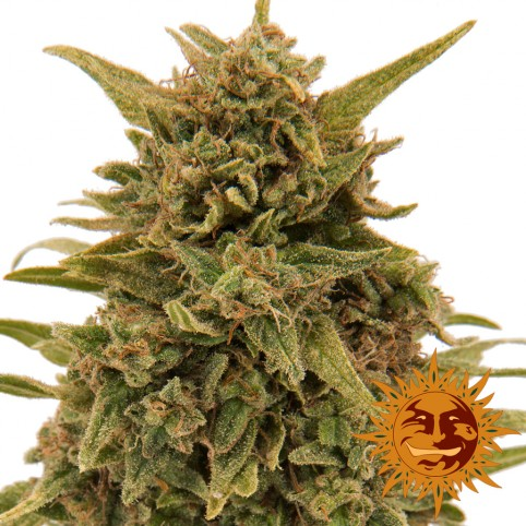 Blueberry OG - Cannabis Seeds