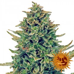 CBD Blue Shark - Cannabis Seeds - Barney's Farm