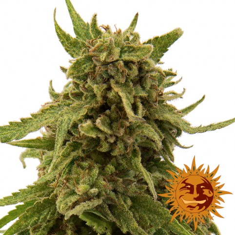 CBD Critical Cure - Cannabis Seeds - Barney's Farm