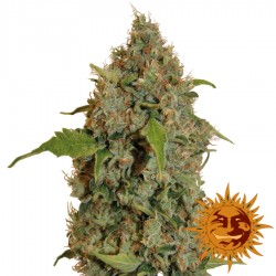 Chronic Thunder - Feminized Cannabis Seeds - Barney's Farm