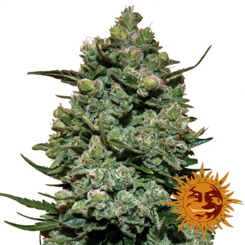 Cookies Kush - Cannabis Seeds - Barney's Farm
