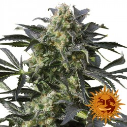Crimea Blue - Cannabis Seeds - Barney's Farm