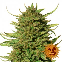 Critical Kush - Cannabis Seeds - Barney's Farm