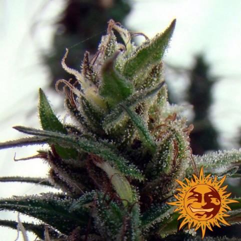 Dr Grinspoon - Cannabis Seeds - Barney's Farm