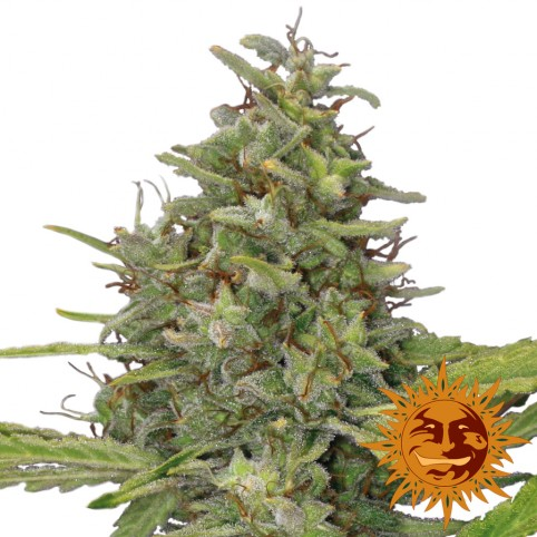 G13 Haze - Cannabis Seeds - Barney's Farm