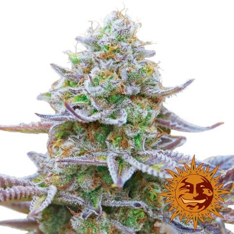 Gorilla Zkittlez - Cannabis Seeds