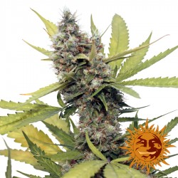 Honey B - Cannabis Seeds - Barney's Farm