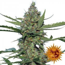 Laughing Buddha - Marijuana Seeds - Barney's Farm