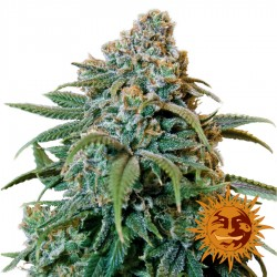 Liberty Haze - Cannabis Seeds - Barney's Farm