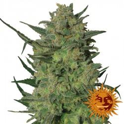 L.S.D - Marijuana Seeds - Barney's Farm
