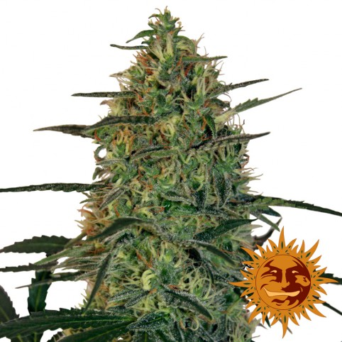 Malana Bomb Auto - Cannabis Seeds - Barney's Farm