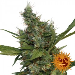 Morning Glory - Cannabis Seeds - Barney's Farm