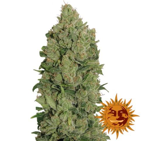NYC Diesel Auto - Cannabis Seeds - Barney's Farm