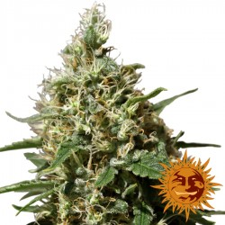 Peppermint Kush - Cannabis Seeds - Barney's Farm