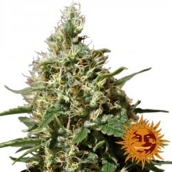 Peppermint Kush - Cannabis Seeds - Barney's Farm