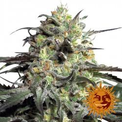 Peyote Cookies - Cannabis Seeds