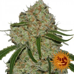 Phantom OG - Cannabis Seeds