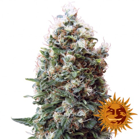 Phatt Fruity - Cannabis Seeds - Barney's Farm