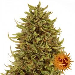 Pineapple Express Auto - Cannabis Seeds - Barney's Farm