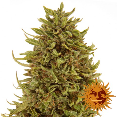 Pineapple Express Auto - Cannabis Seeds - Barney's Farm