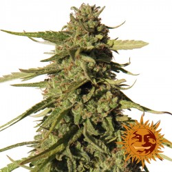 Red Cherry Berry - Cannabis Seeds
