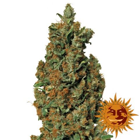 Red Diesel - Cannabis Seeds - Barney's Farm