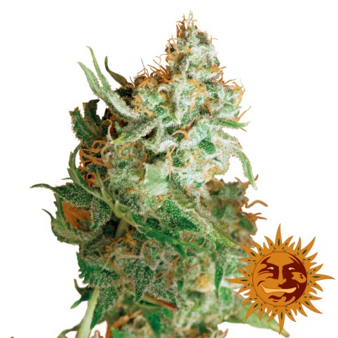 Red Dragon - Cannabis Seeds - Barney's Farm