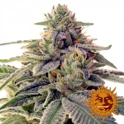 Shiskaberry - Cannabis Seeds