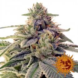 Shiskaberry - Cannabis Seeds