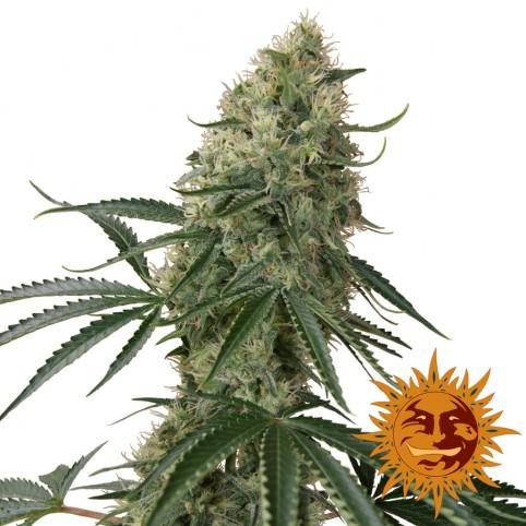Sin Tra Bajo Auto - Cannabis Seeds - Barney's Farm