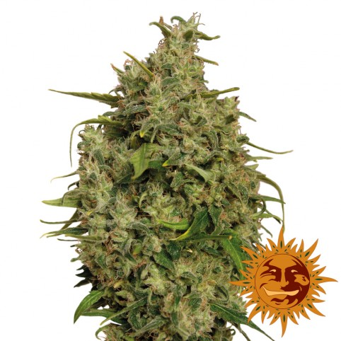 Sweet Tooth - Cannabis Seeds - Barney's Farm
