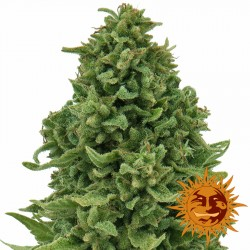 Sweet Tooth Auto - Cannabis Seeds - Barney's Farm