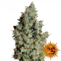 Tangerine Dream - Cannabis Seeds - Barney's Farm