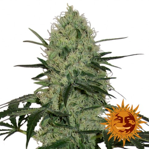 Tangerine Dream Auto - Cannabis Seeds - Barney's Farm