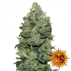 Top Dawg - Cannabis Seeds - Barney's Farm