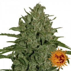 Triple Cheese - Cannabis Seeds - Barney's Farm
