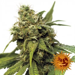 Utopia Haze - Cannabis Seeds - Barney's Farm