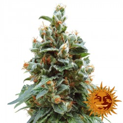 Vanilla Kush - Feminized Cannabis Seeds - Barney's Farm