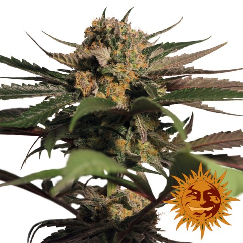 Violator Kush - Cannabis Seeds - Barney's Farm