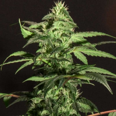 Jack Herer - Marijuana Seeds