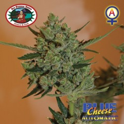 Blue Cheese Automatic Big Buddha Seeds